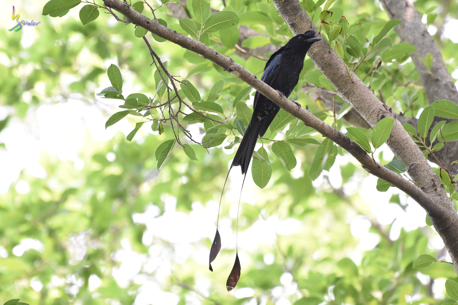 Greater_Racket-tailed_Drongo_1457