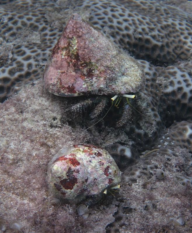 Two Hermit Crabs_Два краба-отшельника