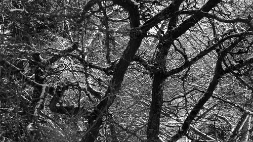Tree branches outlined in snow on a snowy day in Vancouver