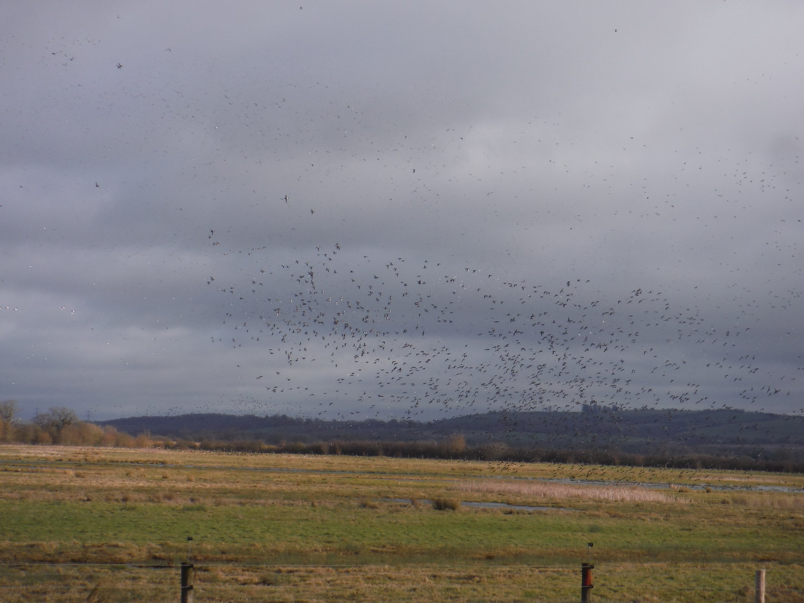 Starlings and Lapwings Murmuration, Otmoor RSPB Reserve