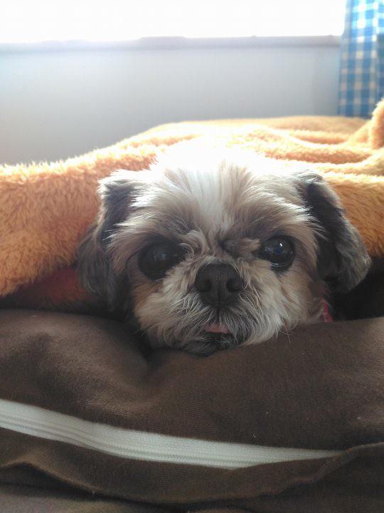 シーズー犬まろん お布団と毛布でお昼寝