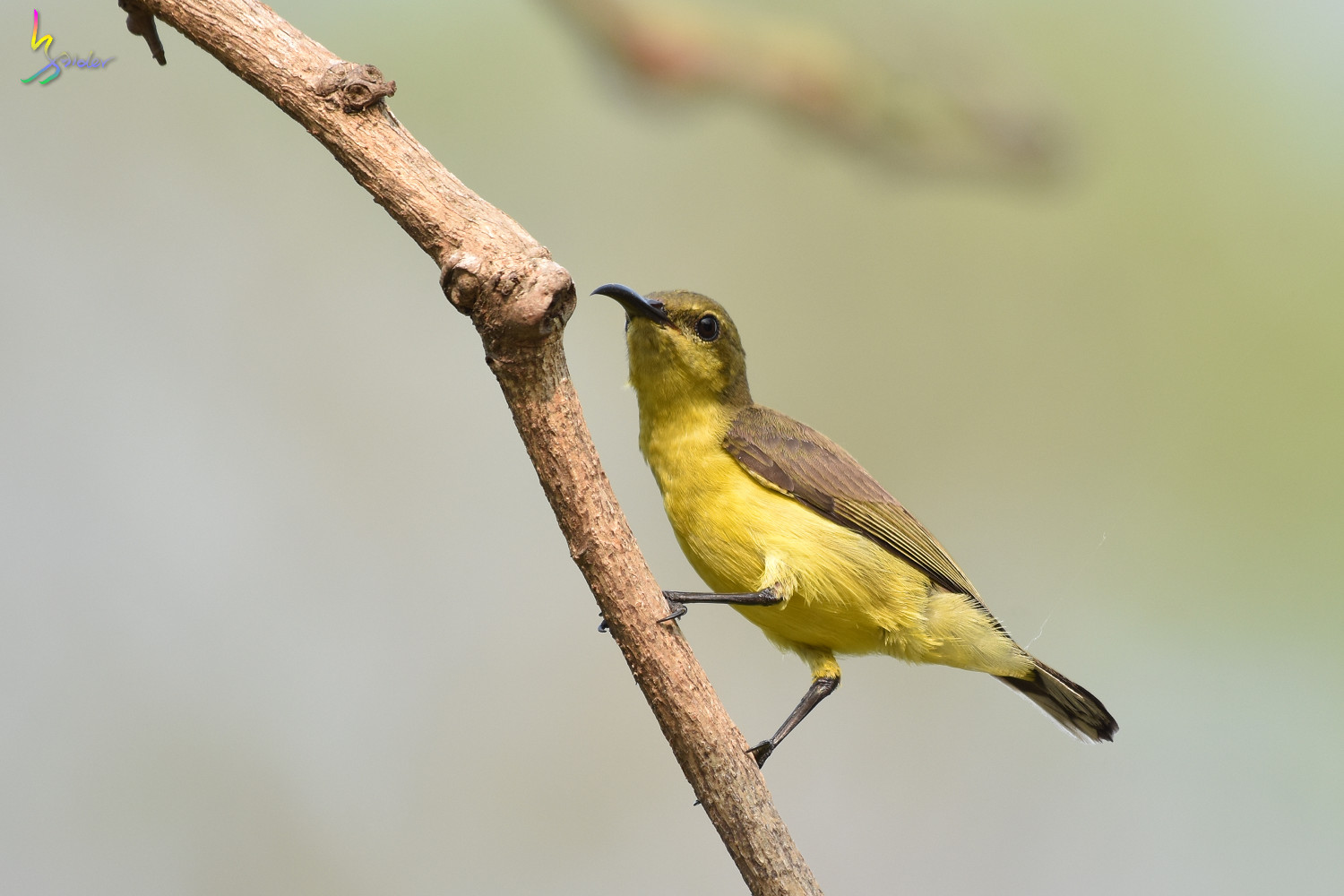 Olive-backed_Sunbird_0844