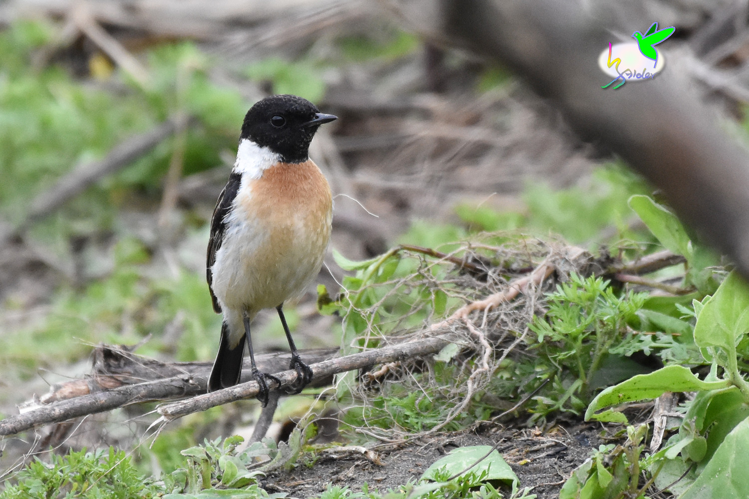 Common_Stonechat_9534