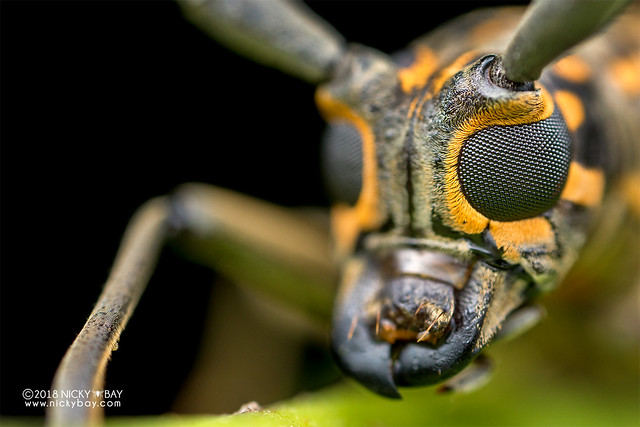 Longhorn beetle (Epepeotes luscus) - DSC_8009