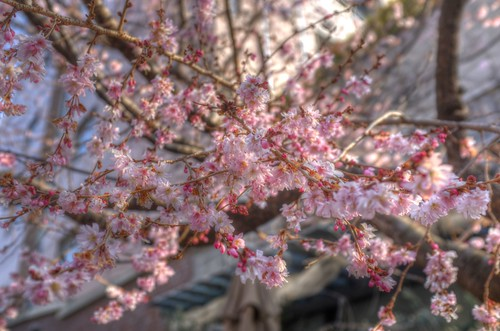 'Oike-Sakura', Kyoto on 24-02-2018 (3)