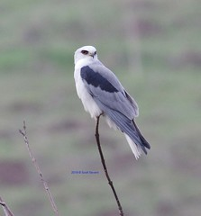 White-tailed Kite looking for breakfast 作者 Scott Severn