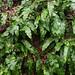 Harts tongue ferns