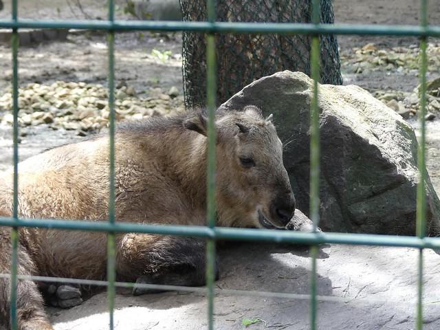 Goldtakin, Zoo Dresden