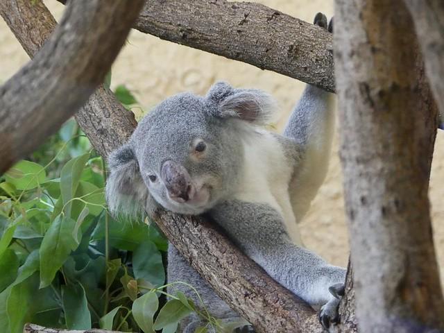 Koala, Zoo Dresden