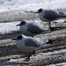 South Gare Birds 3