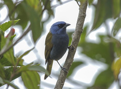 Blue-capped Tanager (Sporathraupis cyanocephala)