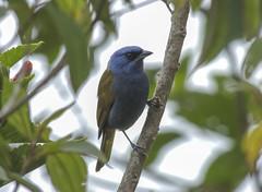 Blue-capped Tanager (Sporathraupis cyanocephala)