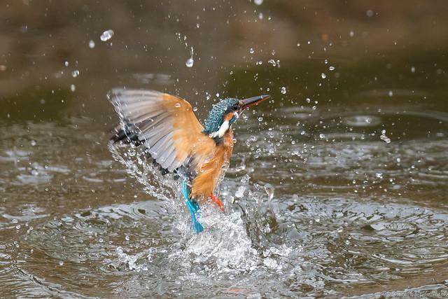 20180203-kingfisher-DSC_7335