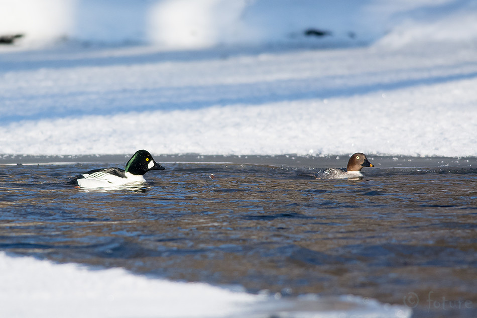 duck, Sõtkas, Bucephala, clangula, Glaucionetta, Common, Goldeneye, Whistler, Estonia, Kaido Rummel