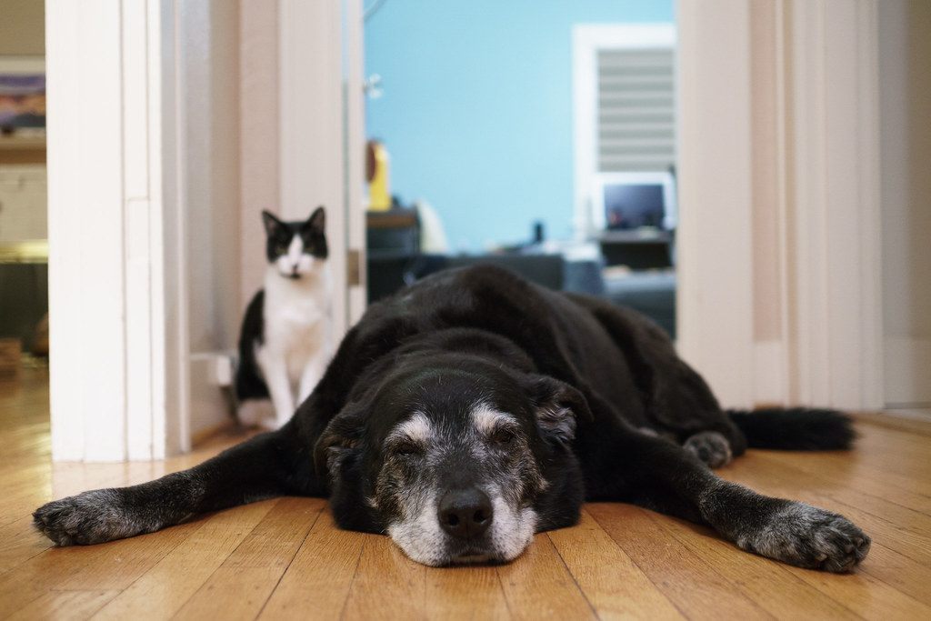 Our cat Boo sits behind our dog Ellie as she rests on the hardwood floor in front of my office