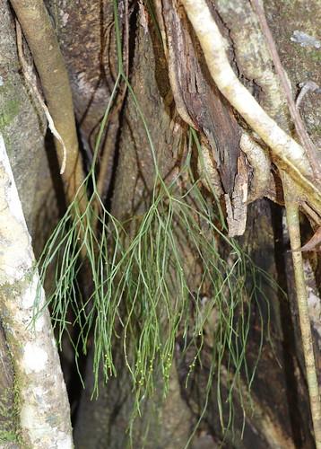 Skeleton Fork Fern (Psilotum nudum)