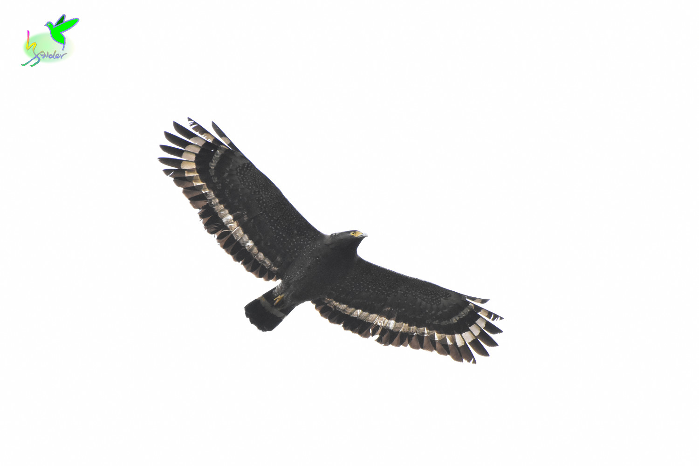 Crested_Serpent_Eagle_8990