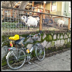 A visit to the Goats of ZZZ Ranch on NE Rodney Ave. Featuring new and improved feeder! #zzzranch #goatsonrodney #urbangoats #urbangoatspdx