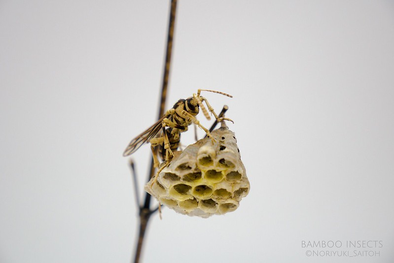 Paper wasp4