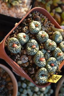 DSC_6952 Conophytum ursprungianum コノフィツム 藤原阿嬌