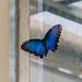 Blue Morpho Butterfly RHS Wisley 08 February 2018 (43)