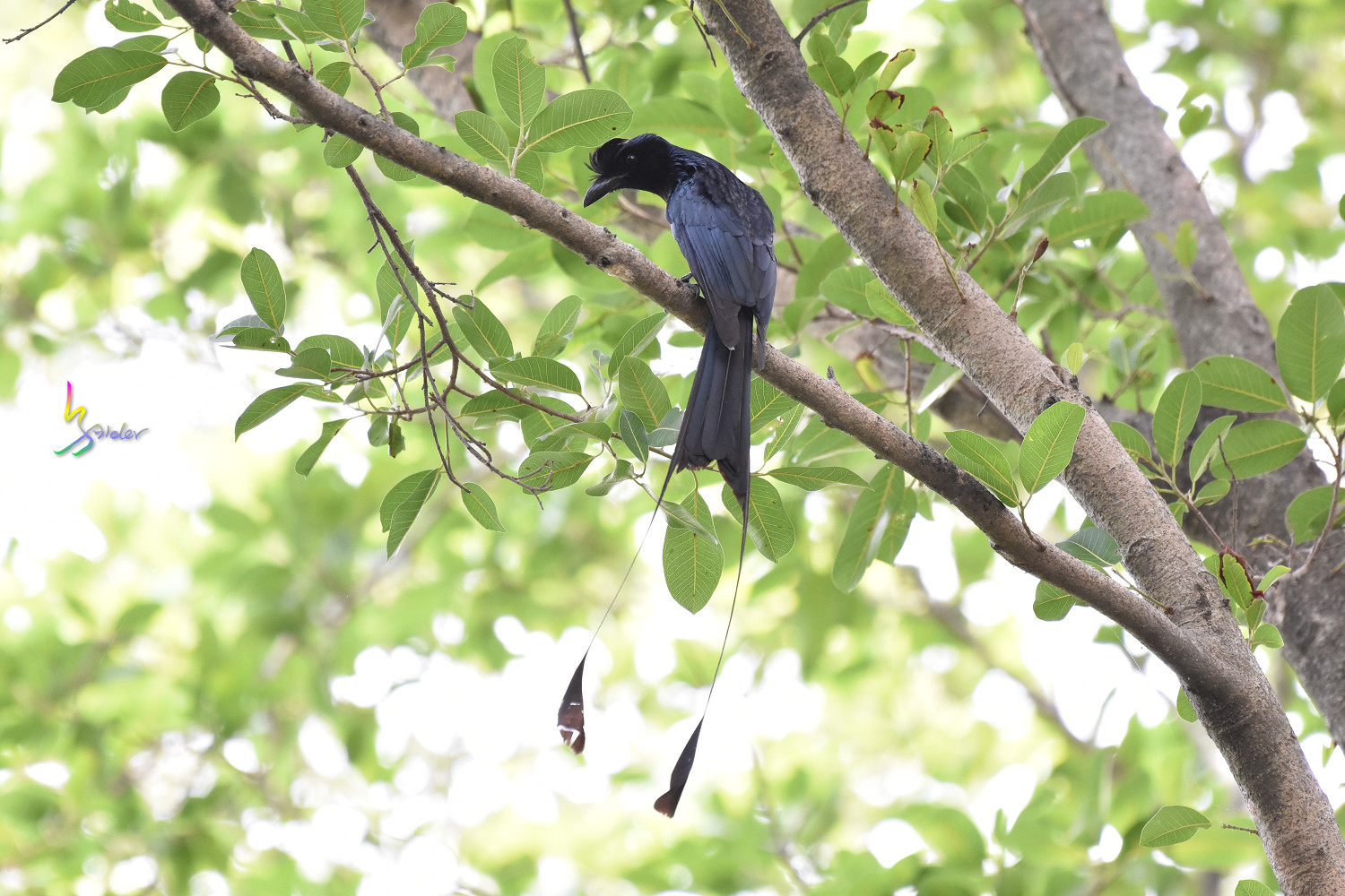 Greater_Racket-tailed_Drongo_1384