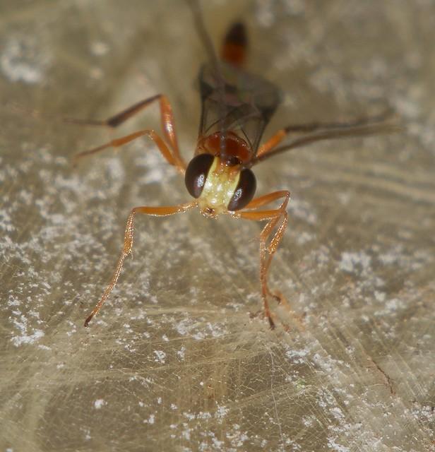 7mm long Night wasp Cremastinae Ichneumonidae attracted to light Airlie Beach rainforest P1160248