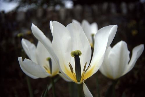 White Tulip - 1987