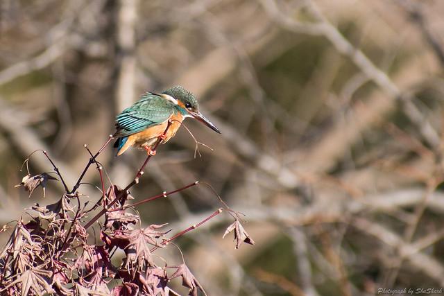 20180126-kingfisher-DSC_5719