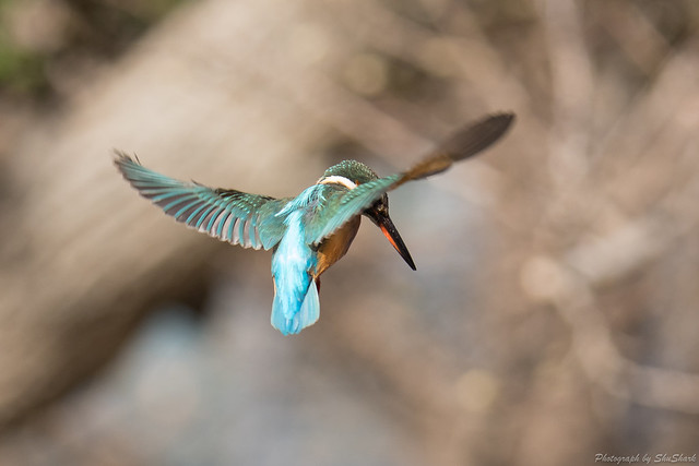 20180127-kingfisher-DSC_5995