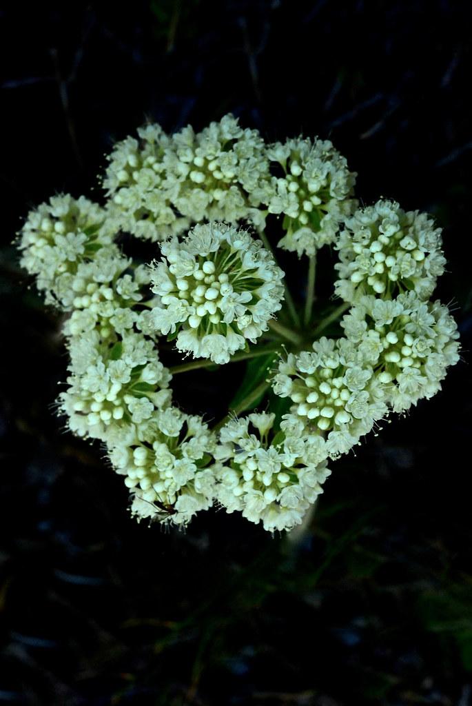 Parship-flower Buckwheat