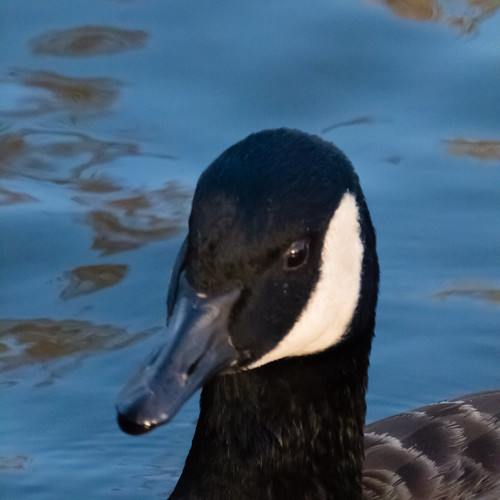 Young Canada goose, portrait