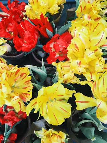 tulips, february 2018