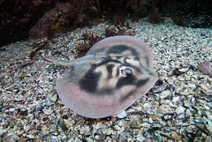 Banded stingaree Urolophus cruciatus