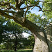 Ancient oakwood, Dalkeith Country Park
