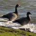 Brent Geese ....