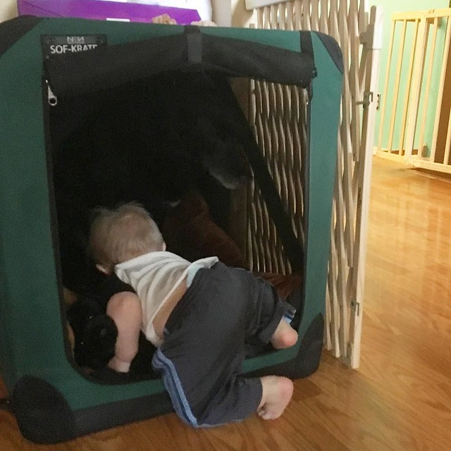 Here's the birthday boy climbing into Maggie's crate to show her his stuffed black puppy (she wasn't interested). 😂