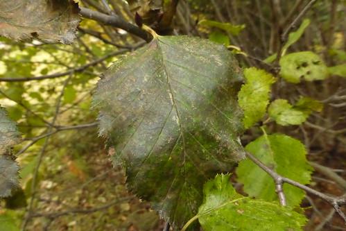 fall foliage_8, Alnus viridis_09282013