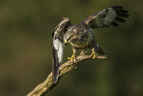 Buzzard (Wild) - Why the angry look?