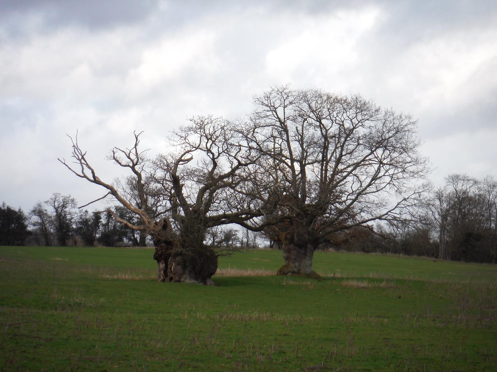 QE I Oak Trees, Lake Llangorse SWC Walk 308 - Bwlch Circular (via Mynydd Troed and Llangorse Lake)
