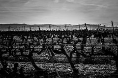 vignes, variations