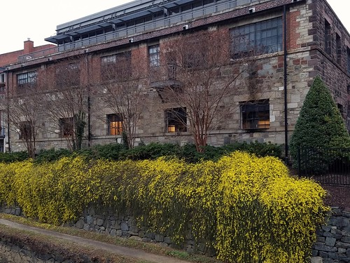Forsythia along the Canal