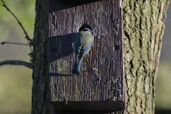 HolderDSC_5364 Blue Tit-1600x1067