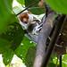 Phalangeridae: Spilocuscus papuensis (Waigeo Cuscus) 1