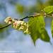 Wych Elm Blossom