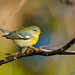 Northern Parula by Danielirons02
