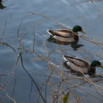 Leasowes Park - Beechwater Pool - ducks