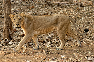 Asiatic lion Gir National Park | by bursar103
