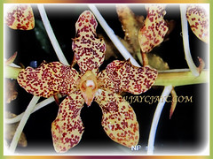 Long-lasting flowers of Grammatophyllum speciosum(Giant Orchid, Tiger Orchid, Sugar Cane Orchid, Queen of the Orchids), Feb 27 2018