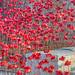 Poppy Wave 17th Nov 2017 #2